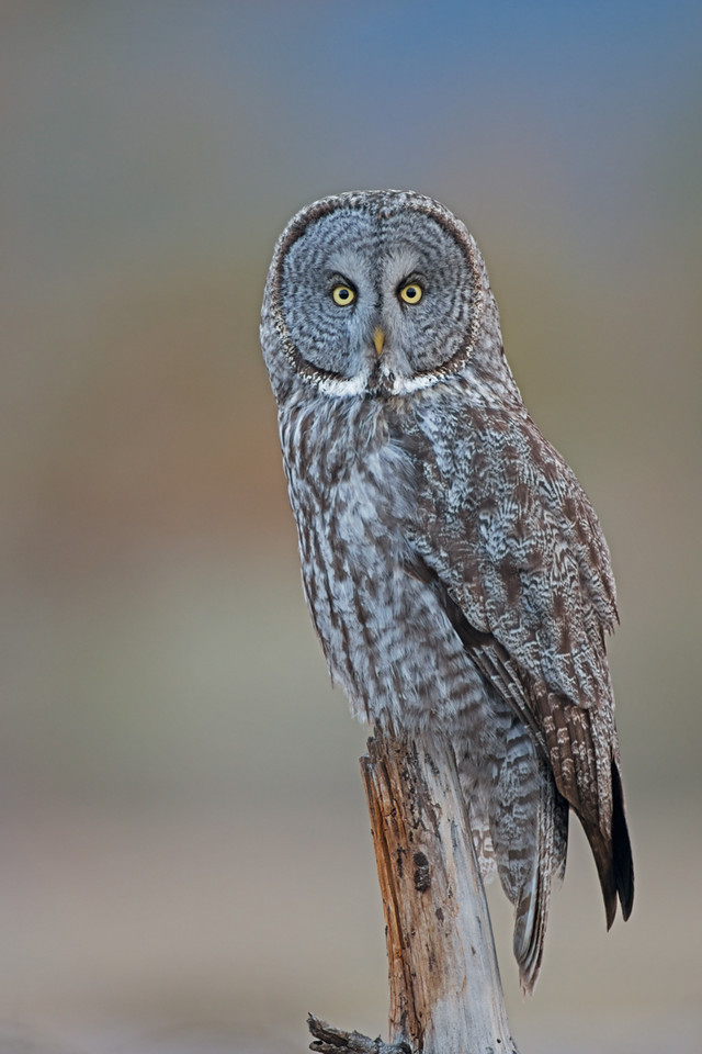 great gray owl bc interior
