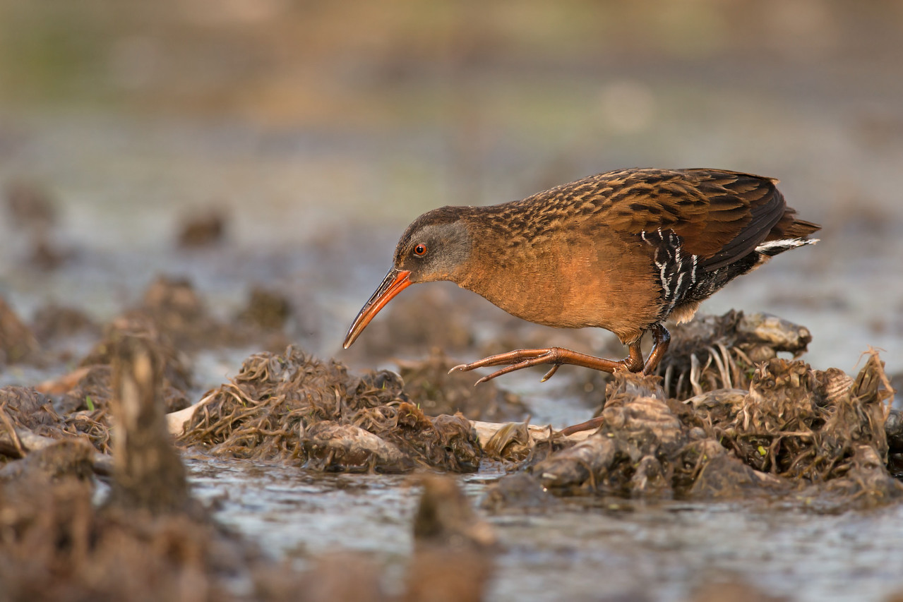 virginia rail victoria bc